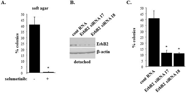 Inhibition of Mek or ErbB2 knockdown block anchorage-independent growth of ErbB2-overproducing breast epithelial cells.