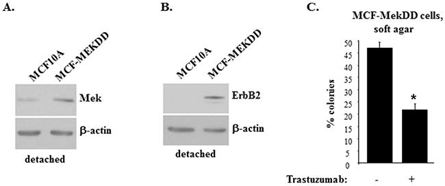 Mek-induced ErbB2 uregulation promotes anchorage-independent growth of breast epithelial cells.