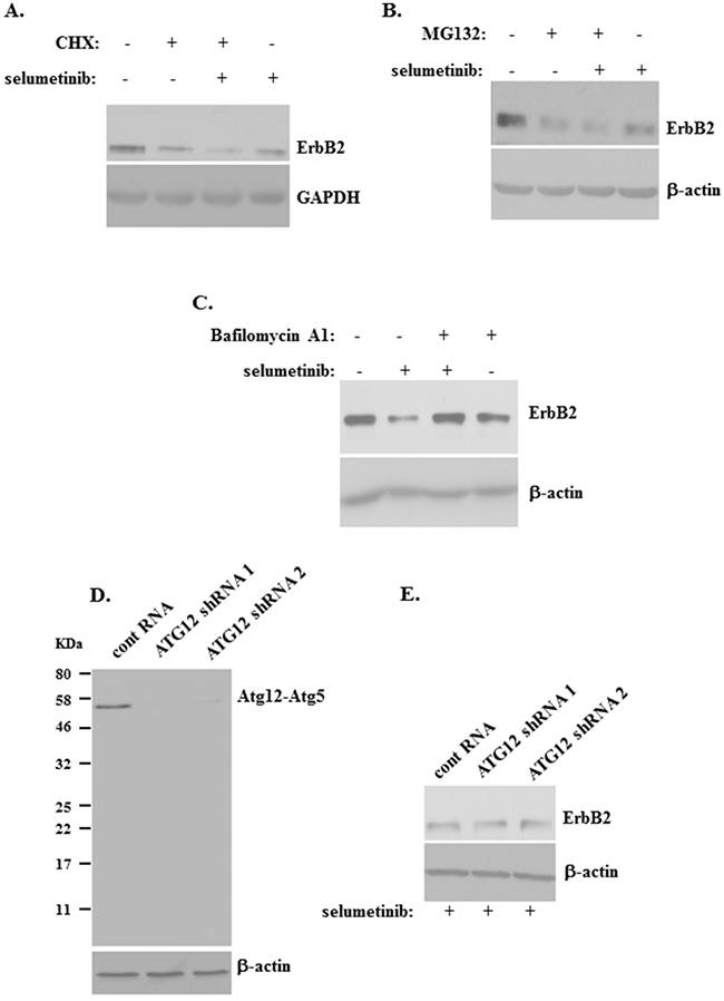 ErbB2 downregulation induced by a Mek inhibitor in detached breast cancer cells can be blocked by a lysosomal inhibitor.