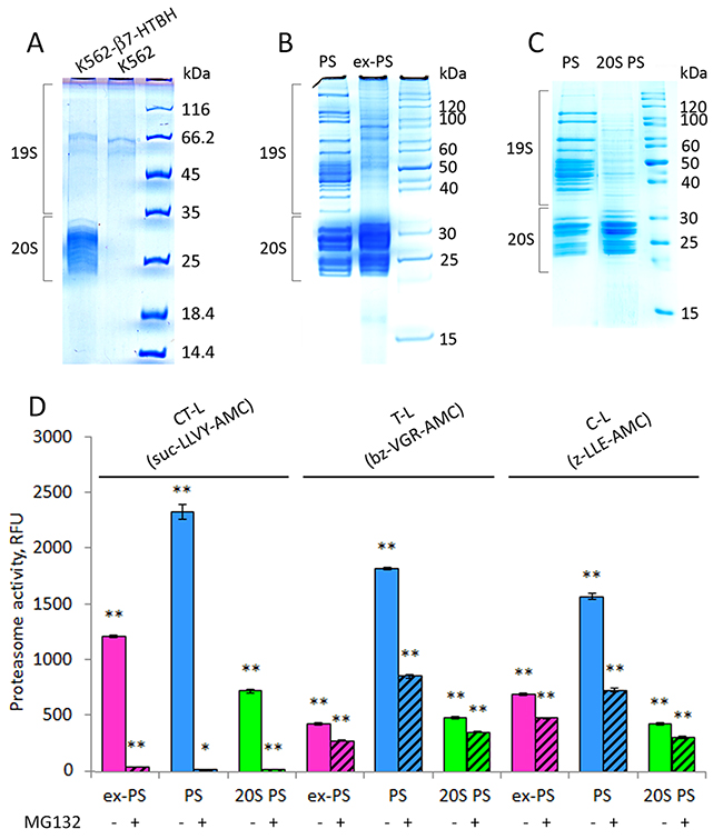 Affinity-purified proteasomes from conditioned medium (CM) and β7-HTBH K562 cells preserve chymotrypsin-like (CT-L) peptidase activity but decrease trypsin- and caspase-like (T-L and C-L) activities.