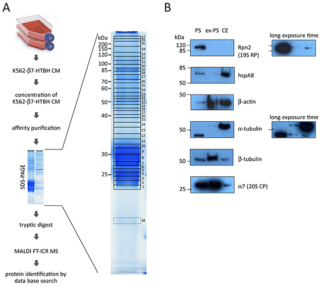 Identification of proteins associated with affinity-purified extracellular proteasomes (ex-PS) by MALDI FT-ICR MS and validation MS data of six selected proteins associated with ex-PSs and cellular proteasomes (PSs) by Western blot analysis.