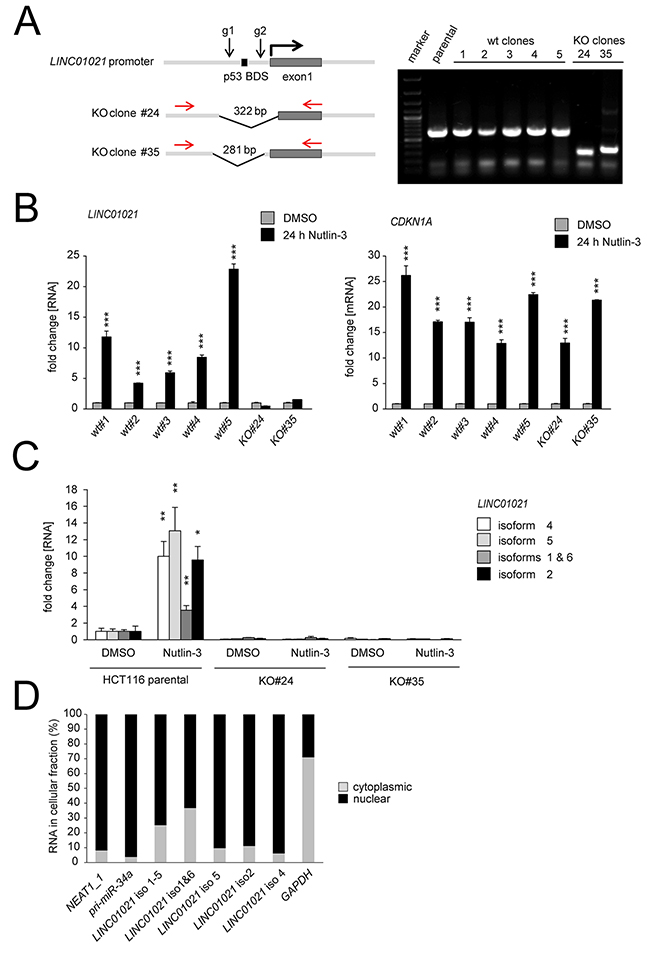 Characterization of LINC01021 by CRISPR/Cas9-mediated deletion of the promoter elements, isoform-specific qPCR and subcellular fractionation.