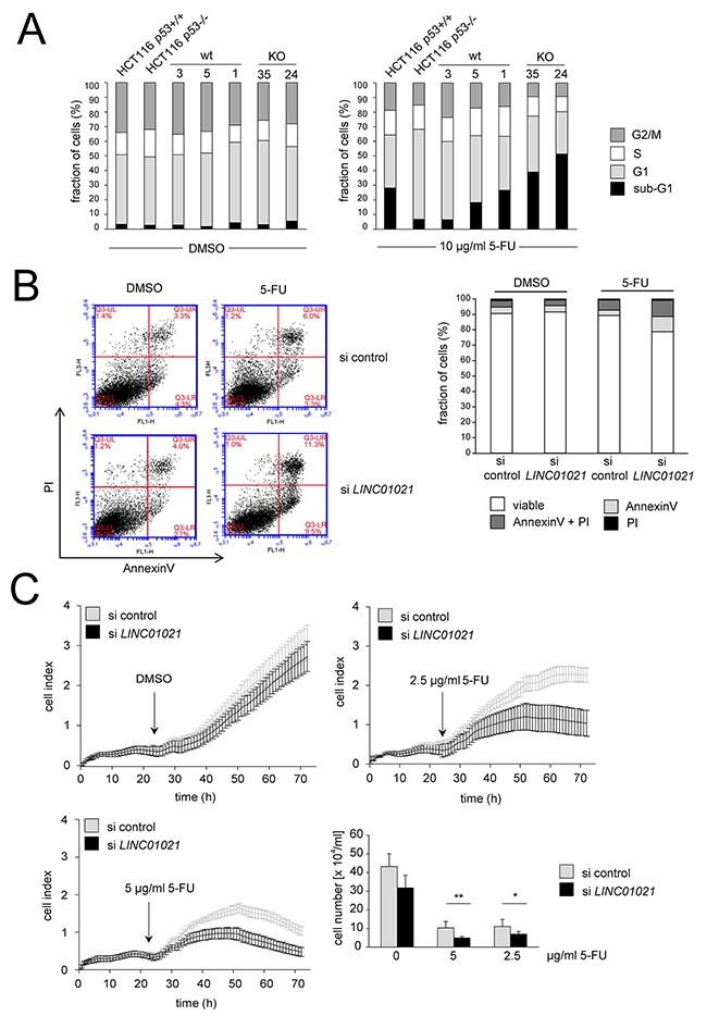 Loss of LINC01021 sensitizes HCT116 cells to 5-FU.