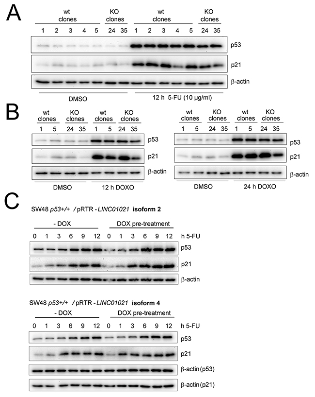 Modulating LINC01021 expression does not affect p53 activation.