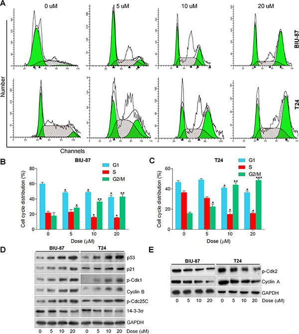 Actein induces G2/M cell cycle arrest in human bladder cancer cells.