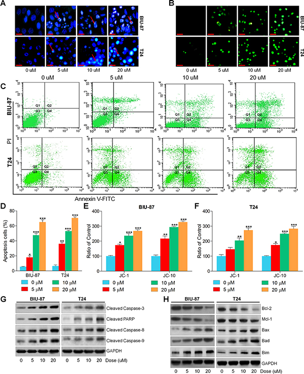 Actein induces apoptosis in human bladder carcinoma cells.