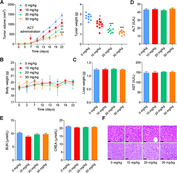 Actein inhibits the growth of human bladder xenograft mice in vivo.