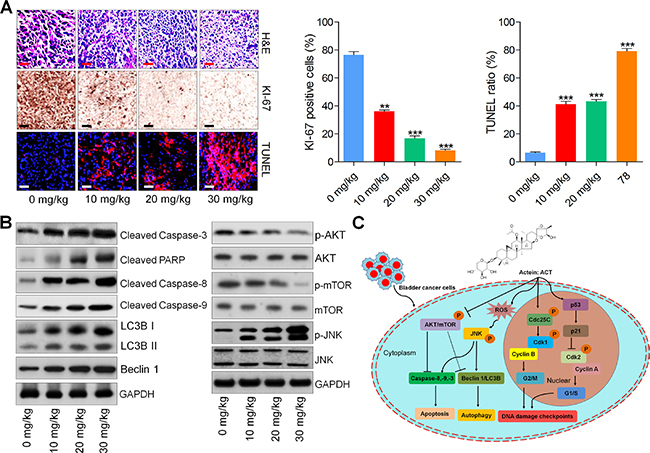 Actein-suppressed growth of human bladder xenograft mice is associated with induction of apoptosis and autophagy.