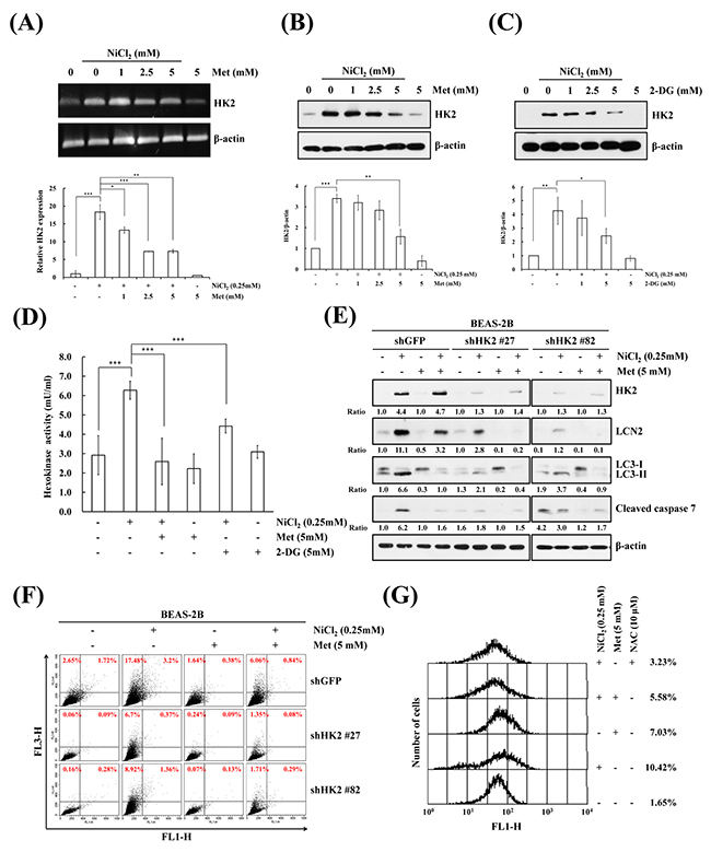 Inhibition of NiCl2-induced hexokinase 2 represses autophagy and apoptosis.