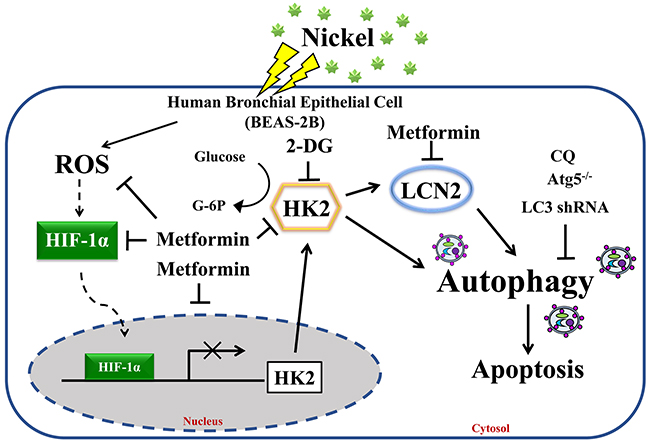 Proposed model and hypothesis of metformin-induced repression of HK2-driven autophagy following nickel exposure in BEAS-2B cells.