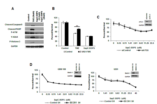 SapC-DOPS-induced cell death is independent of apoptotic and autophagic cell death.