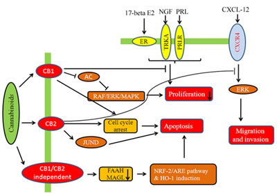 Fig.3: Modulatory effect of cannabinoids on hormone sensitive breast cancer cells.