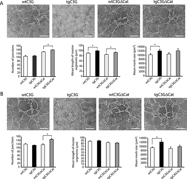 Releasate from thrombin- or ADP-activated transgenic platelets promotes higher formation of capillary networks in HUVECs.