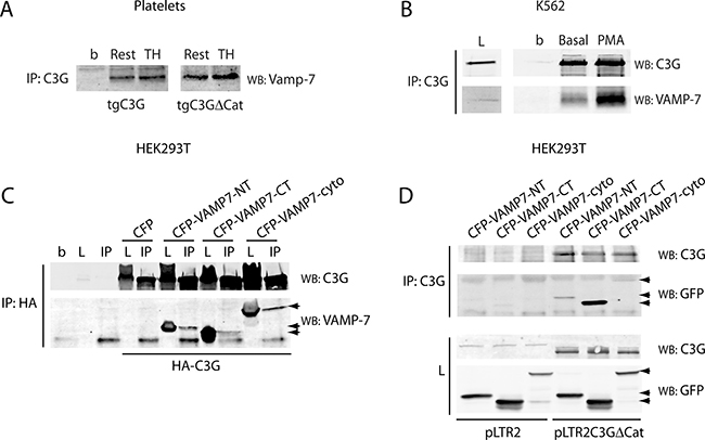 C3G interacts with Vamp-7 in platelets from tgC3G and tgC3GΔCat mice.