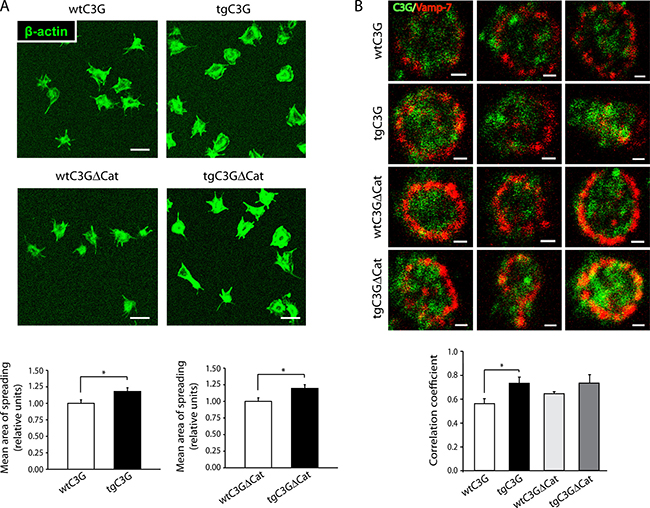 TgC3G and tgC3GΔCat platelets present higher areas of spreading following activation with thrombin, in correlation with higher levels of C3G-Vamp-7 colocalization.