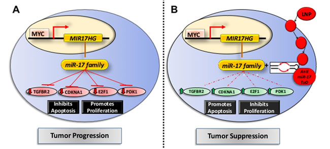 Mechanism of action of anti-miR17 therapy in MYC driven HCCs.