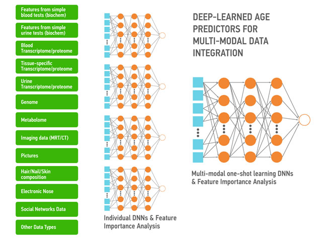 A simple depiction of the deep neural networks trained to predict the chronological age within the data type and using the features extracted using the feature importance and deep feature selection for multi-modal age predictors.