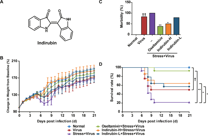 Indirubin attenuates the morbidity and mortality caused by influenza infection in stressed mice.
