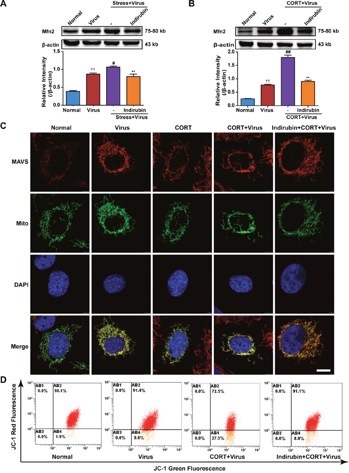 The maintenance of mitochondrial morphology contributes to the effect of indirubin on MAVS signaling.
