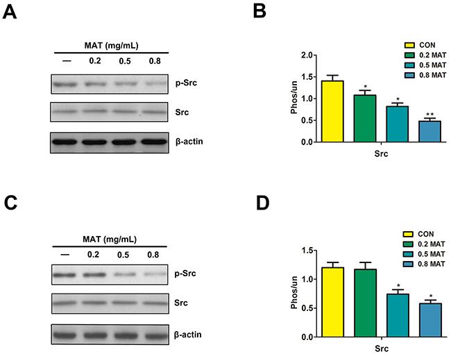 Matrine reduced the level of phosphorylated Src.