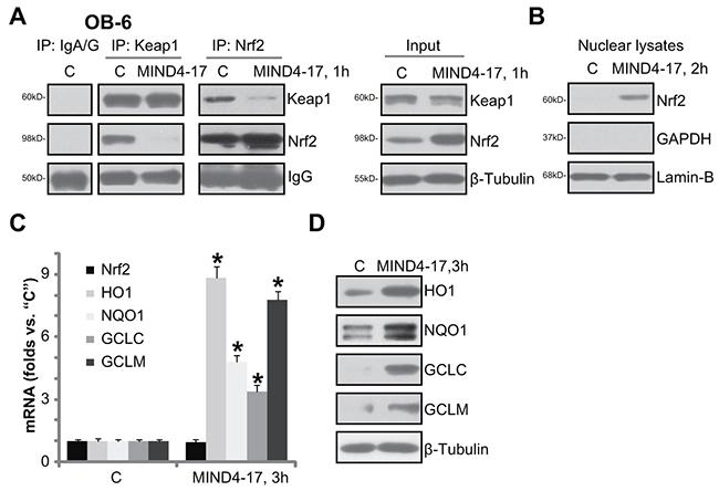 MIND4-17 activates Nrf2 signaling in osteoblasts.
