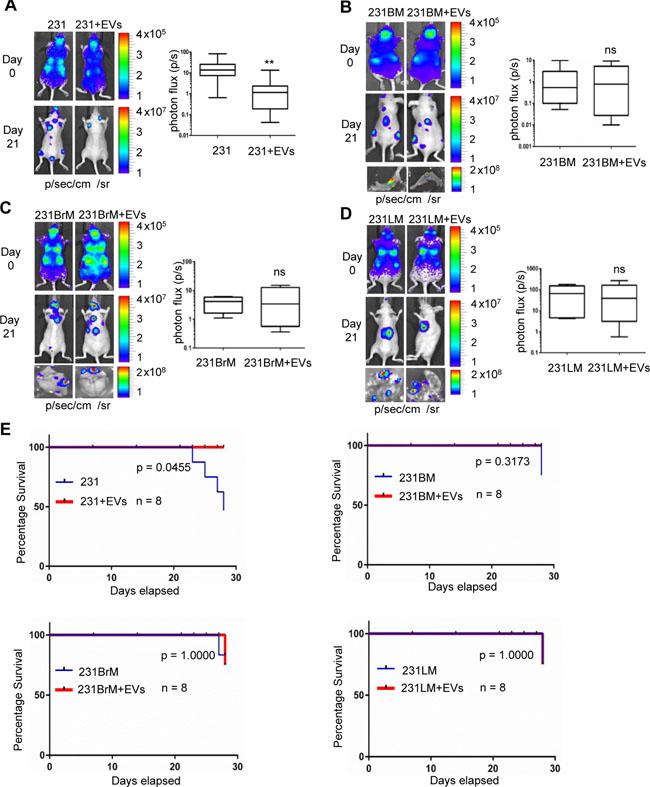 EVs suppress metastasis of MDA-MB-231 non-specific metastatic cells but not in organ-specific metastatic cells.