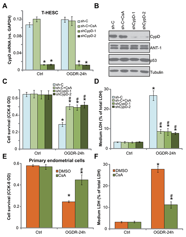 Inhibition of CypD prevents OGDR-induced endometrial cell programmed necrosis.
