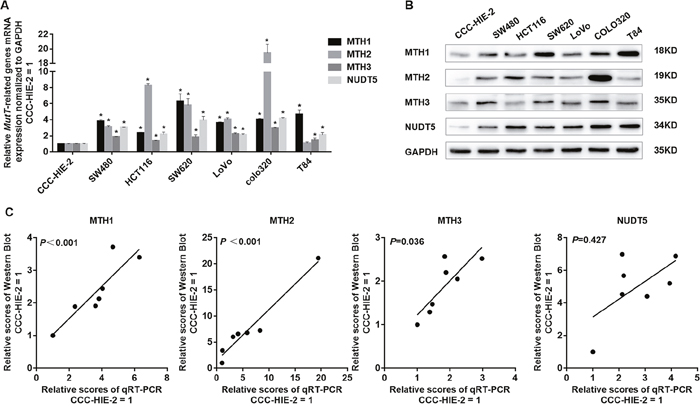 Expression of MutT-related genes in human colorectal cell lines.