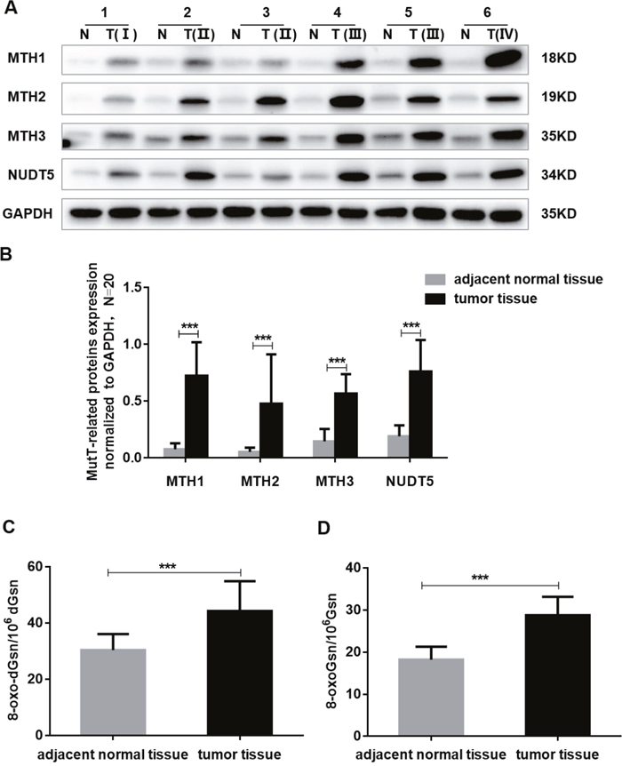The expression of MutT-related proteins and the DNA and RNA oxidation levels in human CRC specimens.