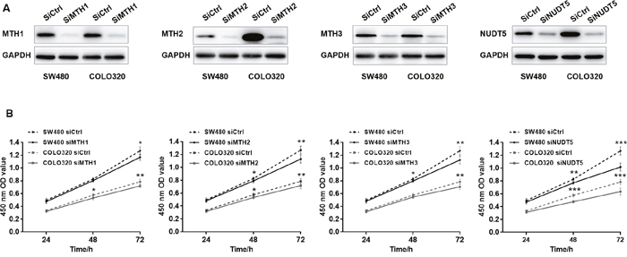 Knockdown of MutT-related proteins reduces the proliferation rate in SW480 and COLO320 cells.