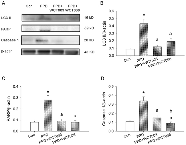 Effect of WCT003 and WCT006 treatment on PPD-induced LC3 II, PARP, and caspase 1 expression.
