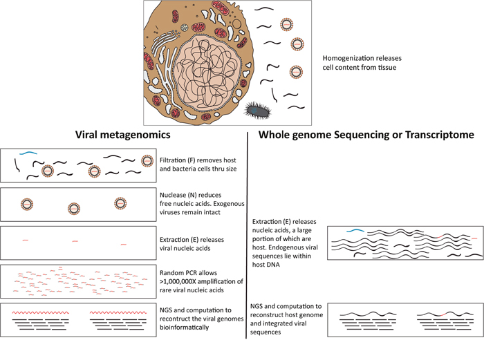 Schematic diagram outlines the typical viral metagenomic approach in this study, using filtration, nuclease and extraction (FNE) treatments [16, 17] to distinguish rare viral sequences from abundant host cell and free DNA.