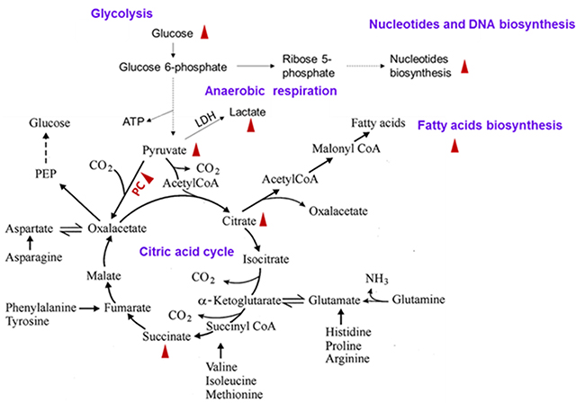 Up-regulation of tricarboxylic acid cycle, glycolysis, and fatty acid and nucleotide synthesis pathways in the lung cancer cells.