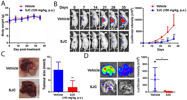 SJC exhibited anti-tumour effect in orthotopic HCC implantation model.
