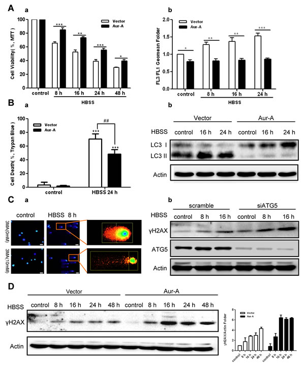 Aur-A protected breast cancer cells against metabolic stress by suppressing autophagy.