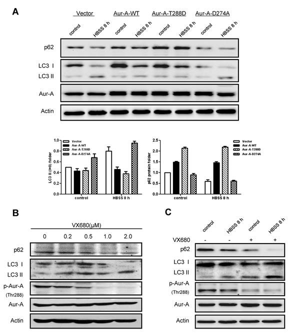 Kinase activity of Aur-A contributed to the suppression of starvation induced- autophagy.