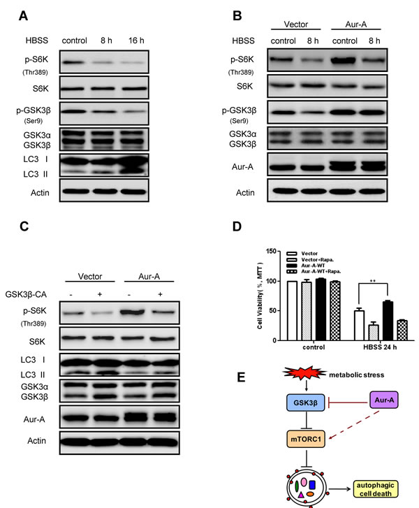 Aur-A activated mTOR signaling by inhibiting GSK3β under metabolic stress.