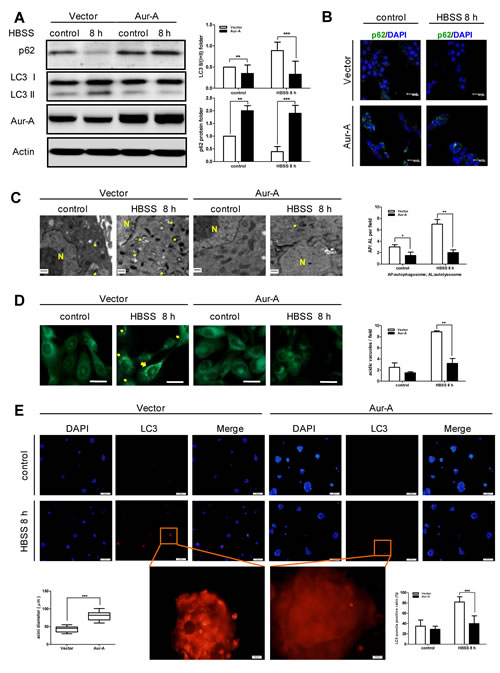 HBSS starvation induced-autophagy was suppressed by Aur-A overexpression.