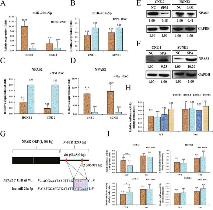 NPAS2 is a target of miR-20a-5p in NPC cells.