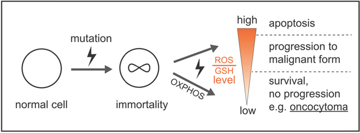 Model by which ROS and GSH levels govern a stable balance sustaining survival and growth, avoiding high mutation rates and apoptosis, which prevents malignant tumor progression and cell death.