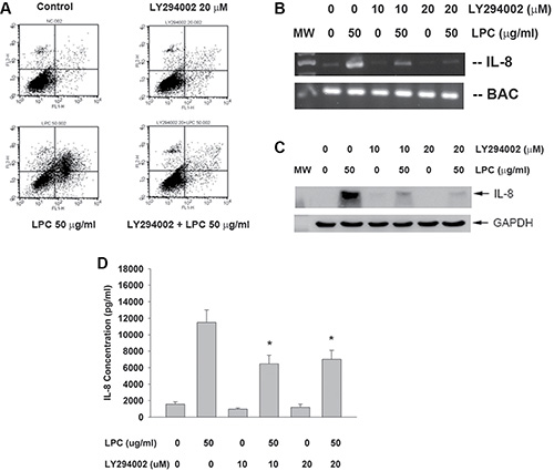 Effect of LY294002 on LPC-induced apoptosis and IL-8 expression/ secretion.