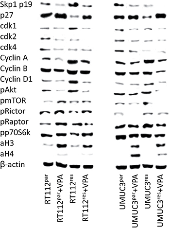 Protein expression profile of cell cycle regulating and targeted proteins in parental and temsirolimus-resistant RT112 (left) and UMUC-3 (right) cells after 3 days exposure to VPA [1 mmol/ml] and untreated controls.