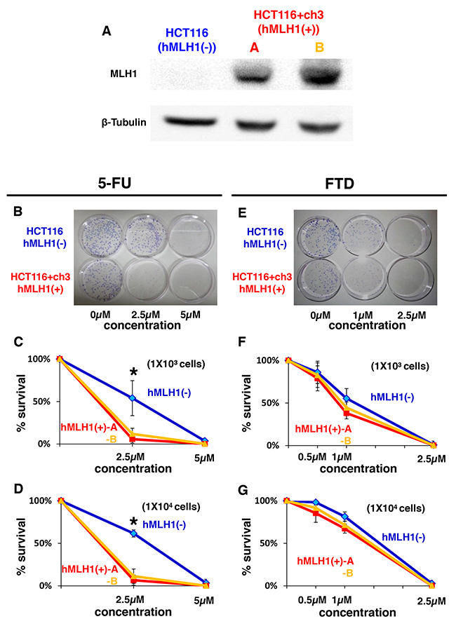 Sensitivity of MMR-deficient cells to FTD treatment is the same as that of MMR-proficient cells despite MMR-deficient cells being resistant to 5-FU.