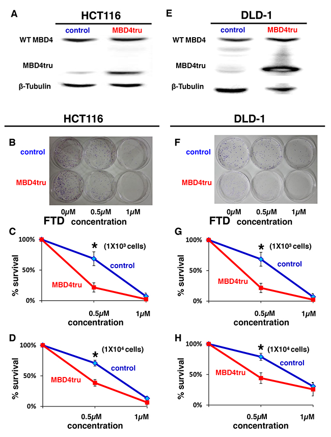 MBD4 frameshift mutation caused by MSI enhances FTD cytotoxicity.