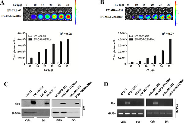 EV-CAL-62/Rluc showed EV-specific Rluc activity in vitro.