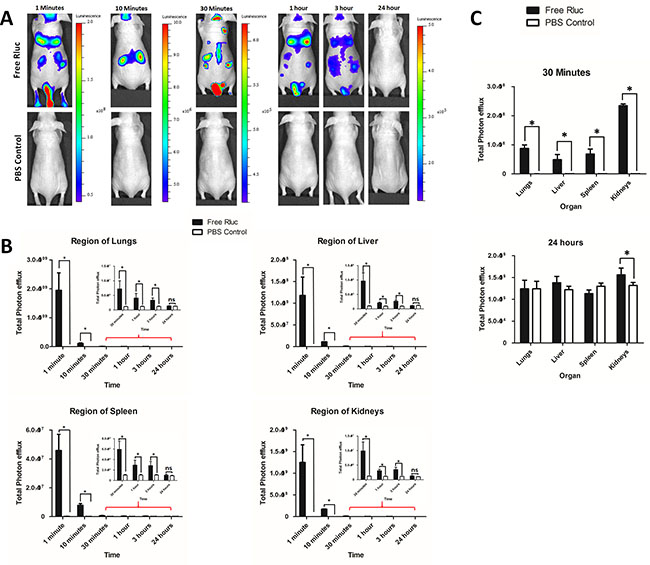 Biodistribution of i.v. administered free Rluc protein in vivo and organ distribution.