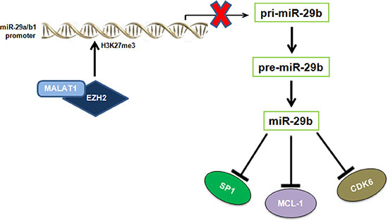 Graphic overview of the inhibitory effect played by EZH2 and MALAT1 on miR-29b expression.