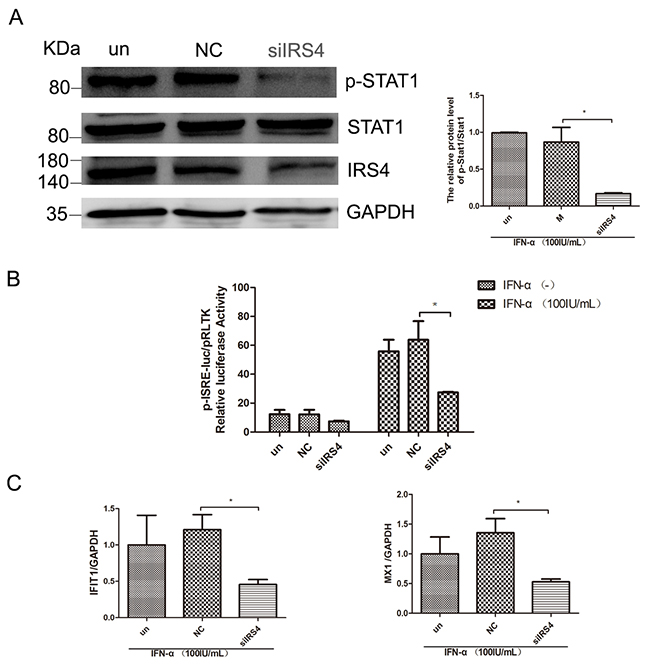 IRS4 knock-down suppressed the IFN-a-induced activation of Jak/STAT signaling.