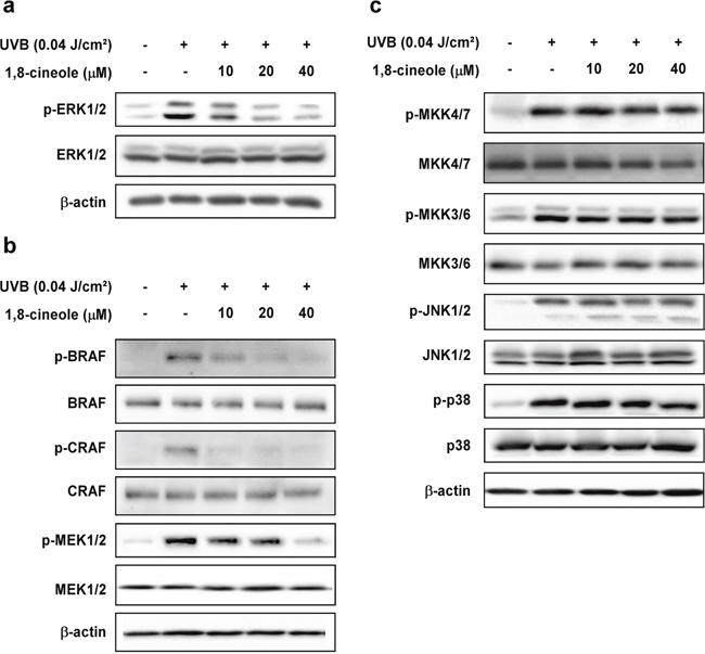Effect of 1,8-cineole on UVB-induced phosphorylation of MAPKs in HaCaT cells.