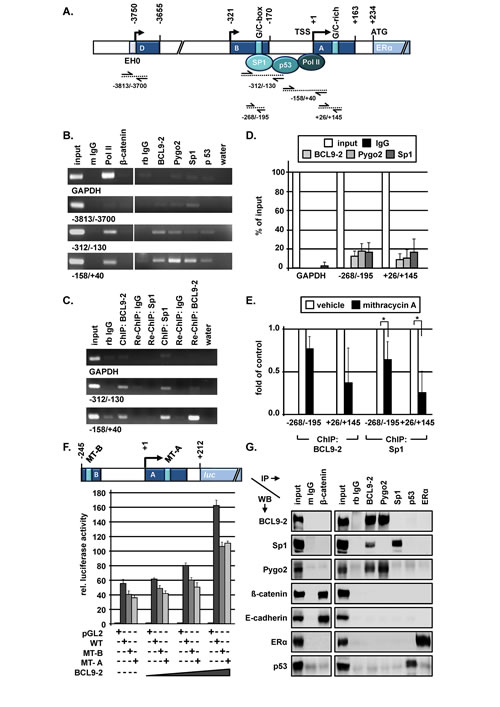 BCL9-2 regulates the transcription of ER in the proximal promoter and interacts with Sp1 in human breast cancer cells.
